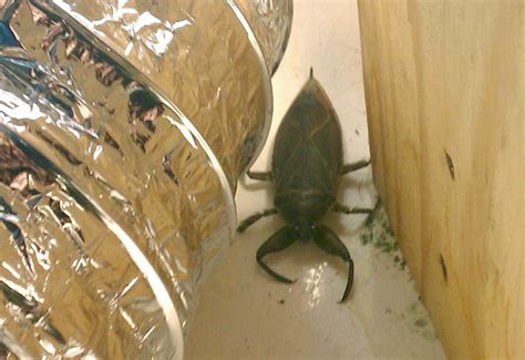 Not Satan's Pet: Giant Water Bug - What's That Bug?