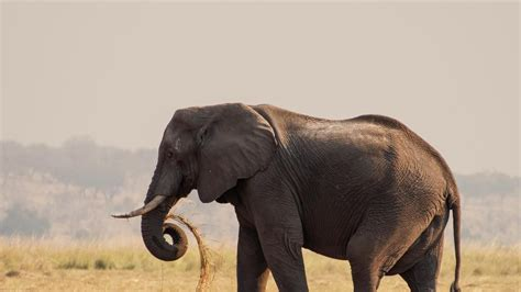 What Is the Biggest Elephant? | Reference