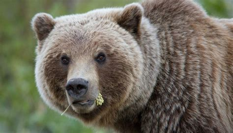'I could hear bones crunching': Hungry grizzly bear mauls
