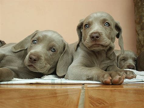 How to Get Rid of Fleas on a Puppy   Daily Puppy