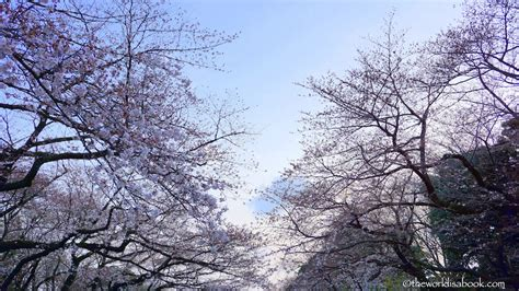 Cherry Blossom Viewing in Ueno Park, Tokyo, Japan