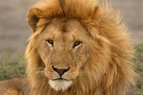 The New Lion Economy: Unlocking the value of lions and