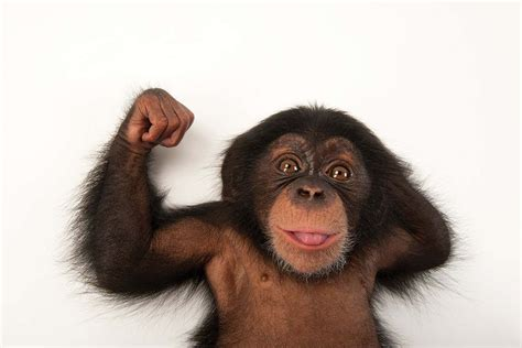 Chimps are not as superhumanly strong as we thought they