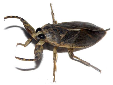 Lethocerus medius | Giant water bug, attracted to light