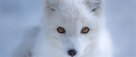 How the Arctic Fox Got Its Winter Wardrobe | Answers in